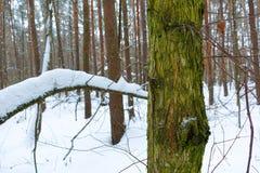 De boomstam van de de winter bosboom die in groen mos wordt behandeld royalty-vrije stock afbeelding