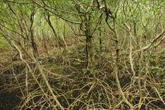 De Boomstammen en de Wortels van de mangrove royalty-vrije stock afbeelding