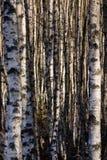 De boomstammen van de berk Stock Foto's