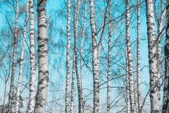 De boomstammen van de berkboom Stock Afbeeldingen