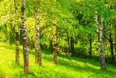 De boomstammen van de berkboom stock fotografie