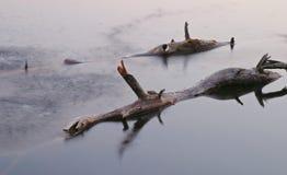 De boomstammen van de boom in meer Royalty-vrije Stock Foto's