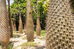 De boomstammen van de cactus Stock Foto
