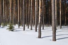 De boomstammen van de pijnboom in de winter bosrand Royalty-vrije Stock Fotografie
