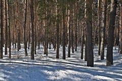 De boomstammen van de pijnboom in de winterbos Stock Foto's