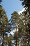 De boomstammen van de pijnboom op blauwe hemelachtergrond Stock Afbeeldingen