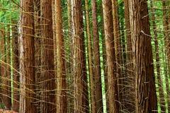 De boomstammen van de sequoia royalty-vrije stock fotografie