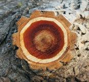 De boomstampopulier van de textuurplak royalty-vrije stock afbeelding