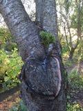 De boomstomp kijkt als een hart met hars Stock Afbeelding