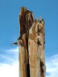 De boomstomp van de pijnboom Royalty-vrije Stock Fotografie
