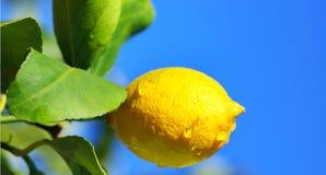 De boomtak en bladeren van de citroen. Royalty-vrije Stock Foto