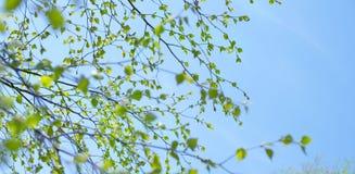 De boomtak van de banner Mooie berk met groene bladeren in de hemel royalty-vrije stock afbeeldingen