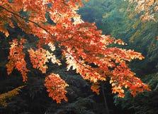 De boomtak van de herfst Royalty-vrije Stock Afbeelding