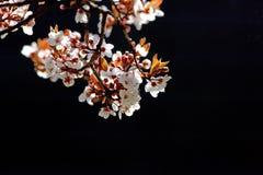 De boomtak van de kers in bloei royalty-vrije stock foto