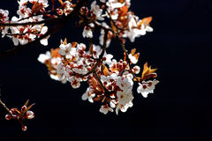 De boomtak van de kers in bloei royalty-vrije stock foto's