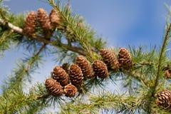 De boomtak van de lariks stock fotografie