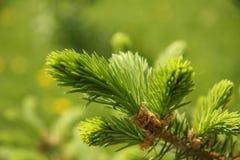 De boomtak van de pijnboom   stock fotografie