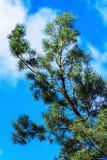 De boomtak van de pijnboom op blauwe hemel Stock Fotografie
