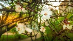 De boomtak van de de lente bloeiende kers ukraine royalty-vrije stock afbeelding