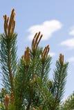 De boomtakken die van de pijnboom aan de hemel bereiken. royalty-vrije stock foto
