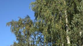 De boomtakken van de de herfstberk met bladeren en de boomstam van de kleurenboom Neer geschotene schuine stand 4K stock videobeelden