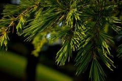 De boomtakken van de pijnboom Royalty-vrije Stock Foto's