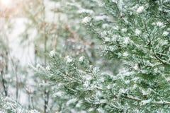 De boomtakken van de pijnboom die met sneeuw worden behandeld Bevroren boomtak op achtergrond van de de winter de bos Mooie winte royalty-vrije stock foto