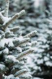 De boomtakken van de pijnboom die met sneeuw worden behandeld Bevroren boomtak op achtergrond van de de winter de bos Mooie winte stock foto's