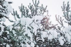De boomtakken van de pijnboom die met sneeuw worden behandeld Bevroren boomtak op achtergrond van de de winter de bos Mooie winte stock afbeelding