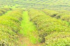 De boomtuin van de thee stock foto