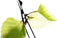 De boomverlof van de berk Stock Afbeelding