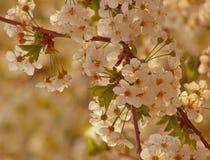 De boomzonsondergang van de lente Stock Foto's