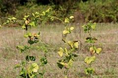 De booninstallatie met gele bladeren ging op plastic steun netto in lokale tuin na het plukken met bomen en gras op achtergrond w stock foto's