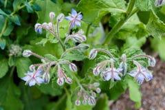 De borage (boragoofficinalis), ook als een starflower wordt bekend is growi die stock afbeelding