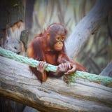 De Bornean-orangoetan Stock Fotografie