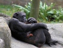 De Borst van de moederchimpansee - voerbaby Royalty-vrije Stock Afbeeldingen
