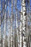De bos en blauwe hemel van de achtergrond de lenteberk Royalty-vrije Stock Foto's