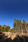 De bos en blauwe hemel van de pijnboom stock fotografie