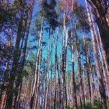 De bos en blauwe hemel van de pijnboom Royalty-vrije Stock Fotografie