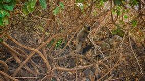 De bos van apen (langur) kreeg de vertakte boom Stock Foto