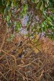 De bos van apen (langur) kreeg de vertakte boom Stock Fotografie