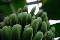 De bos van de banaan Royalty-vrije Stock Foto
