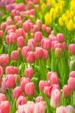 De bos van de lentebloemen Het mooie Roze boeket van Tulpen Stock Foto