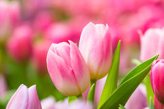 De bos van de lentebloemen Het mooie Roze boeket van Tulpen Stock Afbeelding