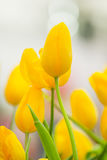 De bos van de lentebloemen Mooi geel tulpenboeket Royalty-vrije Stock Foto's