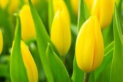 De bos van de lentebloemen Mooi geel tulpenboeket Royalty-vrije Stock Foto