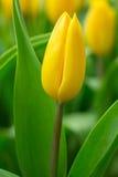 De bos van de lentebloemen Mooi geel tulpenboeket Stock Afbeeldingen