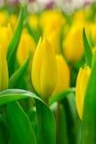 De bos van de lentebloemen Mooi geel tulpenboeket Royalty-vrije Stock Afbeeldingen