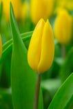 De bos van de lentebloemen Mooi geel tulpenboeket Stock Fotografie