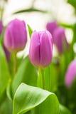 De bos van de lentebloemen Mooi purper tulpenboeket Stock Fotografie